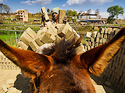 03 MARCH 2017 - BAGMATI, NEPAL: Wet bricks are loaded onto a donkey that hauls the bricks to a kiln at a brick factory in Bagmati, near Bhaktapur. There are almost 50 brick factories in the valley near Bagmati. The brick makers are very busy making bricks for the reconstruction of Kathmandu, Bhaktapur and other cities in the Kathmandu valley that were badly damaged by the 2015 Nepal Earthquake. The brick factories have been in the Bagmati area for centuries because the local clay is a popular raw material for the bricks. Most of the workers in the brick factories are migrant workers from southern Nepal.       PHOTO BY JACK KURTZ