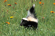 Striped Skunk (Mephitis mephitis) - captive, a 7 week old cub / young , Minnesota, USA