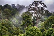 Pristine tropical rainforest at deramakot Forest Reserve, Sabah, Borneo (Malaysia).