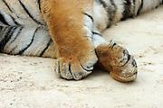Tigers paws crossed, sleeping