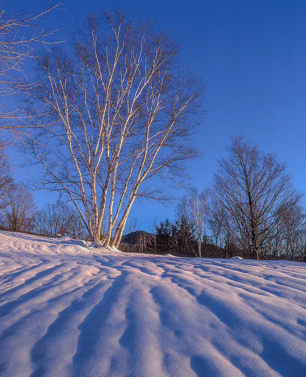 Birch trees in winter, snow patterns & shadows looking uphill, Jackson, NH
