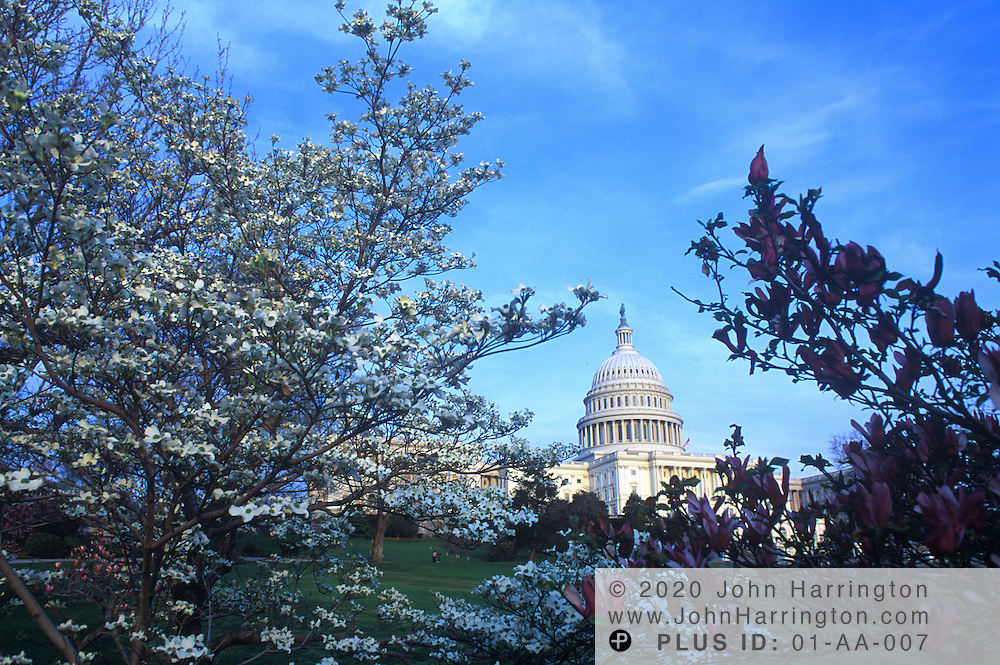The US Capitol framed within two trees coming into their spring bloom.