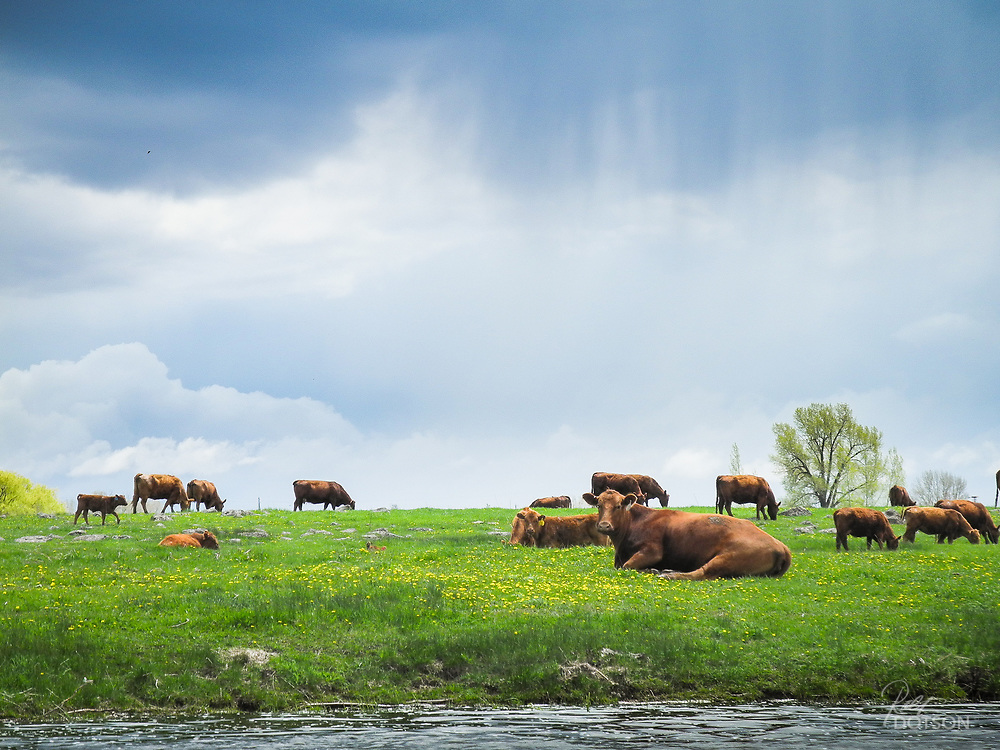 Cattle graze along the backwater stretches of the Henry's Fork River.