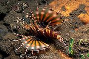 defensive posture of zebra lionfish or turkeyfish, Dendrochirus zebra, with pectoral fins spread wide and venomous dorsal spines erect, Tulamben Bay, Bali, Indonesia