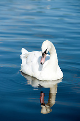 A white swan seems to contemplate its reflection in the water of a lake close to Parkgate Shopping Centre in the Center of Rotherham<br /> 29  May 2012.<br /> Image © Paul David Drabble