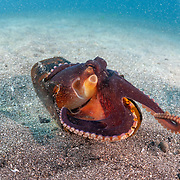 This sequence depicts a veined octopus (Amphioctopus marginatus) using a broken bottle as a portable shelter. The octopus was carrying a small crab that it had caught for a meal. Image 8 in a series of 15.