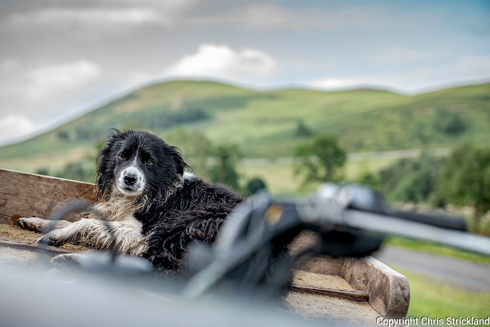 Hownam, Kelso, Scottish Borders, Scotland, UK. 25th August 2021. A working collie covered in morning dew relaxes on the back of its shepherds quad bike, after bringing lambs and ewes off the hill to be spained (weaned), in the Scottish Cheviots.