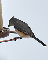 Tufted Titmouse (Baeolophus bicolor). Image taken with a Leica CL camera and 90-280 mm lens.