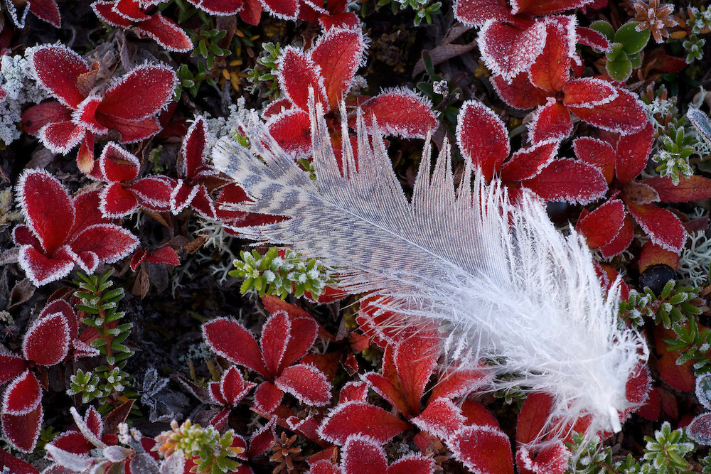 Frosted feather of Willow Grouse (Lagopus lagopus) Sarek National Park, Laponia World Heritage Site, Sweden