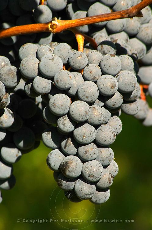 Petit Verdot grape bunches - Château Pey la Tour, previously Clos de la Tour or de Latour, Bordeaux, France