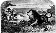 David Livingstone (1813-1873) saved from a lion by Mebalwe, a native school master. From 'Missionary Travels and Researches in South Africa' David Livingstone (London 1857). Engraving.