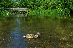© Licensed to London News Pictures. 21/05/2020. CHORLEYWOOD, UK.  A female mallard duck swims in the River Chess near Chorleywood, Hertfordshire during warm weather where temperatures are forecast to rise to 26C.  Enjoying the outdoors for many has been a welcome relief as the UK government has slightly eased coronavirus pandemic lockdown restrictions which allows for unlimited daily exercise as long as social distancing is maintained.  Photo credit: Stephen Chung/LNP