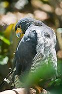 Black-chested Hawk, Leucopternus princeps