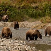 Alaskan Brown Bear (Ursus middendorffi) Mothers with cubs fishing for salmon in river. Katmai National Park. Alaska.