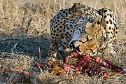 An adult Cheetah feeding on the remains of an antelope in Samburu NP, Kenya.
