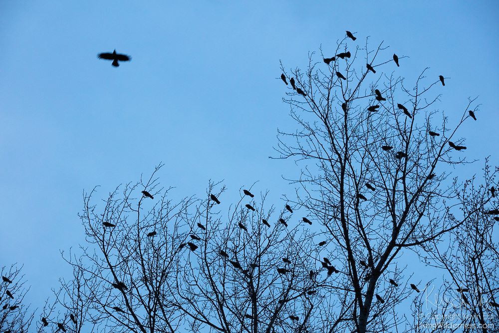 American crows (Corvus brachyrhynchos) seem to replace the leaves on the otherwise bare winter trees along the Sammamish River in Bothell, Washington. More than 10,000 crows roost in a small area of city each night in the winter months.