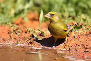 European Greenfinch, Carduelis chloris, is a small passerine bird in the finch family Fringillidae. Israel Spring April