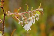 Woolly Huckleberry (Gaylussacia mosieri) - Mississippi