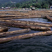 Harvested trees from rain forest near Sandakan, floating in river. Malaysia.