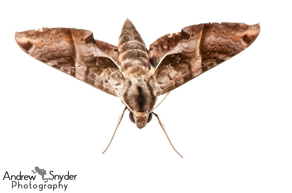 Sphinx moth, Sphingidae, Iwokrama, Guyana, July 2013