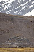 Arctic Ocean, Svalbard, Spitsbergen, Norway | Der Eisbär (Ursus maritimus, auch Polarbär genannt) sucht die Küstenlinieen von Spitzbergen immer wieder nach Nahrung ab. Im Zuge des Klimawandels sind diese immer länger Eisfrei. Nordatlantik / Arktischen Ozean, Spitzbergen, Norwegen
