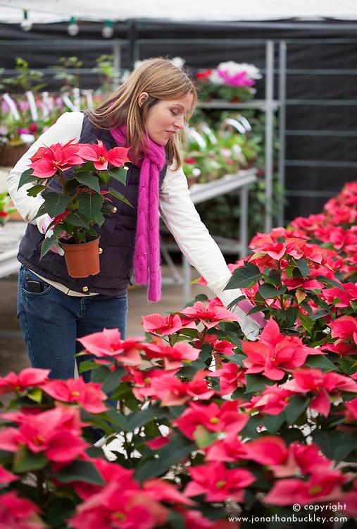 Buying winter houseplants at a garden centre - poinsettia