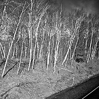 ND Track side trees<br />editted, converted to B&W 2/6/15
