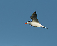 Tern. Fort De Soto Park. Pinellas County, Florida. Image taken with a Nikon D4 camera and 500 mm f/4 VR lens.