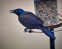 Common Grackle. Image taken with a Nikon D5 camera and 600 mm f/4 VRII lens