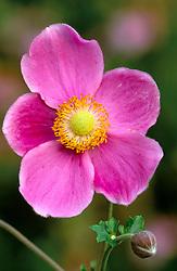 Anemone hupehensis 'Hadspen Abundance'<br /> Japanese anemone