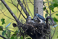 Chinese Sparrowhawk, Accipiter soloensis, sitting in a nest feeding chicks, Guangshui, Hubei province, China