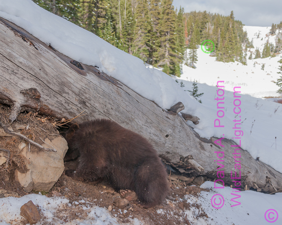 Blackbear digs under a log after an October snowfall, possibly the denning instinct, Montana, © David A. Ponton