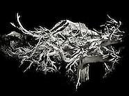 Whitebark Pine Series