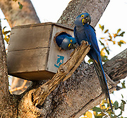 Pair of hyacinth macaws (Anodorhynchus hyacinthinus) nesting in an artifical nesting site at Araras Ecolodge, Pantanal, Brazil.