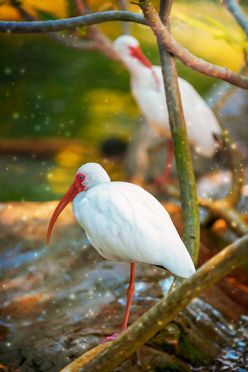 The White Ibis is a rather quiet bird, only grunting or croaking on breeding grounds