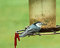 White-bellied Nuthatch. Image taken with a Nikon D5 camera and 200-500 mm f/5.6 VR lens