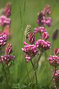 Sainfoin Flower, Onobrychis viciifolia, Lydden Temple Ewell Reserve, Kent UK, Kent Wildlife Trust, perennial of calcareous grasslands, pea family, a legume, clover