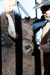 Bison in head gate during bison roundup, Ladder Ranch, west of Truth or Consequences, New Mexico, USA.