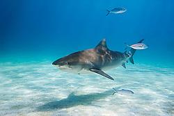 Tiger Shark, Galeocerdo cuvier, and Blue Runner Jacks, Caranx crysos, West End, Grand Bahama, Atlantic Ocean