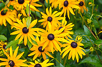 Black eyed Susan, State flower of Maryland USA