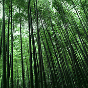 Bamboo forest, Kyoto, Japan (June 2004)