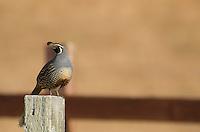 California quail, Callipepla californica, Point Reyes National Seashore, California