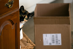 Zelda the cat peers around the corner of the china cabinet in the living room of her Oakland, Calif. home, Tuesday, July 14, 2020. (Photo by D. Ross Cameron)