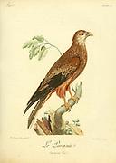 le parasite Kite Bird of Prey from the Book Histoire naturelle des oiseaux d'Afrique [Natural History of birds of Africa] by Le Vaillant, François, 1753-1824; Publish in Paris by Chez J.J. Fuchs, libraire .1799