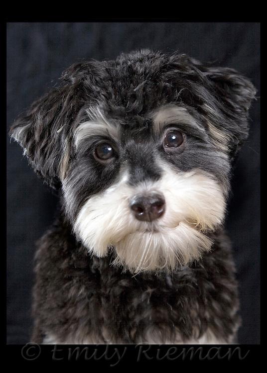 Havanese puppy