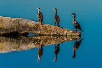 Cormorants sit on a log in a lake, Littleton, Colorado USA.