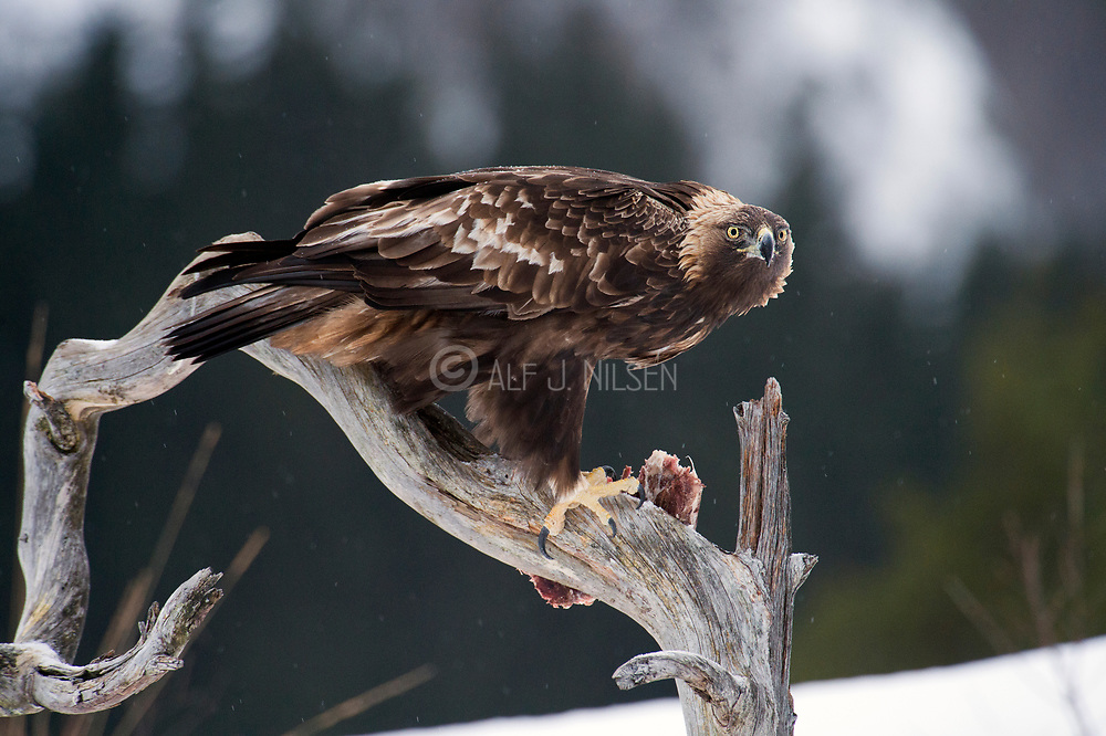 Golden eagle (Aquilla chrysaetos) from south-western Norway.