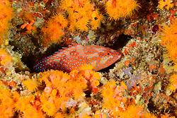 Cephalopholis miniata mit Dendrophyllia sp., Juwelen Zackenbarsch und Rote Zaepfchenkoralle, Coral Hind or Jewel Grouper and Red orange stone Coral, Malediven, Indischer Ozean, Baa Atoll, Maldives, Indian Ocean