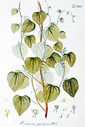 Wendlandia populifolia from Hortus Herrenhusanus seu Plantae rariores [Rare Plants] quae in Horto Regio Herrenhusano prope Hannoveram coluntur / Auctore Ioanne Christophoro Wendland. by Wendland, Johann Christoph. Printed in Hanover, Germany in 1798