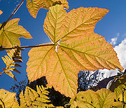 Big leaves turn yellow in the first half of October on the trail to Janus Lake and Union Gap, near Smithbrook Road off Highway 2, northwest of Leavenworth, Washington, USA.